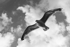Soaring (spodzone) Tags: light sky blackandwhite white bird nature silhouette ferry clouds scotland flying wings argyll wildlife seagull soaring naturewatcher