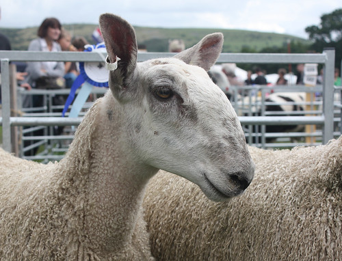 Bluefaced Leicester ewe