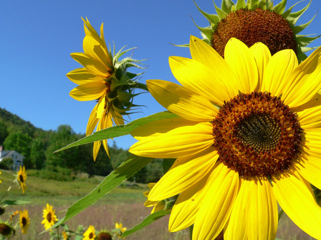 sunflower_mountain6