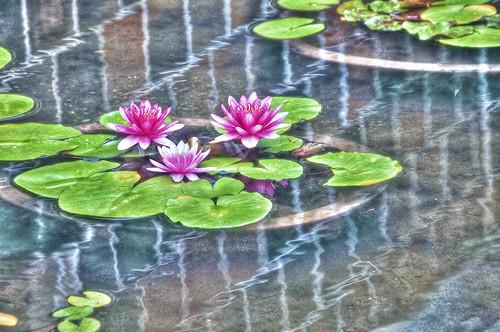 Lotus flower /HDR