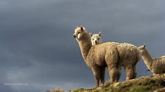 16:9 Wildlife Wallpaper (2) - Alpacas, Nevado Mismi, Peru