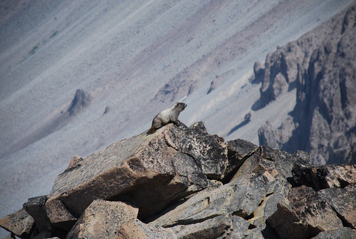 Hoary Marmot at St. Elmo Pass, Mount Rainier National Park, WA