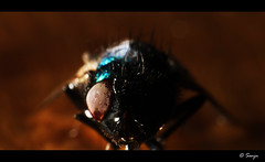 Terminator! (Dhoomakethu!!) Tags: macro strobe housefly reverselens kenkoextension tokina28mm eos7d