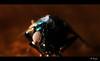 Terminator! (Dhoomakethu!!) Tags: macro strobe housefly reverselens kenkoextension tokina28mm eos7d