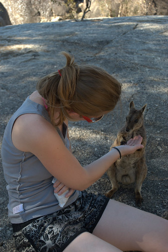 Feeding rock wallabies