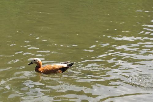 Canard seul