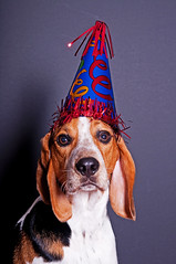 Guess who turns two today!? (Paguma / Darren) Tags: birthday dog hound floyd tamronspaf1750mmf28xrdiiildasphericalif