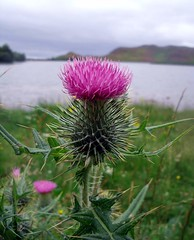 Scottish Thistle at Loch Tarff - South Loch Ness - Inverness Scotland (conner395) Tags: scotland highlands alba scottish escocia highland scotia szkocja caledonia conner inverness ness esccia schottland schotland ecosse scozia scottishhighlands skottland skotlanti skotland greatglen    highlandscotland  invernesscity daveconner capitalofthehighlands inbhirnis conner395 cityofinverness  highlandcapital davidconner daveconnerinverness daveconnerinvernessscotland capitalofscottishhighlands capitalofthescottishhighlands capitalofhighlandsofscotland burghofinverness capitalofthehighlandsofscotland  highlandscapital capitalhighlands capitalofhighlands