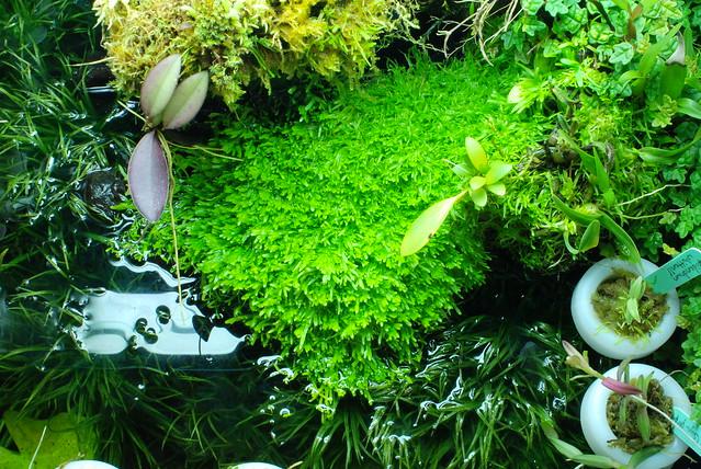 Utriculara graminifolia