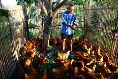 เลี้ยงไก่ไข่ (1)