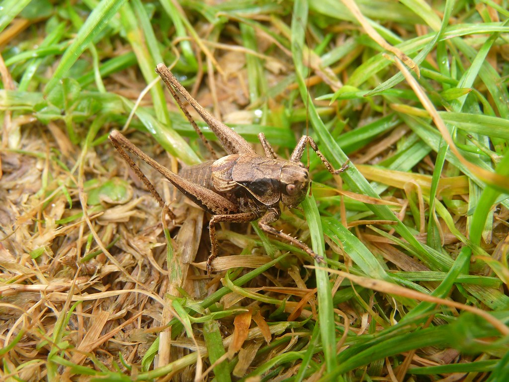 22314 - Dark Bush Cricket