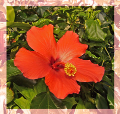 Hibiscus. (Blossom's Mom.(Sheila Hess)) Tags: flowers flora hibiscus april botanicalgardens 2010 edgbaston ilovemypics
