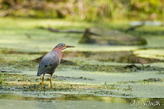 Green Heron (OlaNowak) Tags: wild ontario canada green bird heron nature birds animal fauna nikon wildlife nikkor ptak d300 nikkorlens greenheron ptaki butoridesvirescens zielona butorides virescens czapla campbelville nikond300 czaplazielona