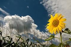Sun (ICT_photo) Tags: sun ontario clouds corn shakespeare sunflower burst stalk stratford ictphoto ispelleditrightthistimehappysqueeks ianthomasguelphontario