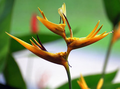 Golden Torch (BigMs.Take) Tags: flowers orange green nature yellow gardens heliconia tropics goldentorch