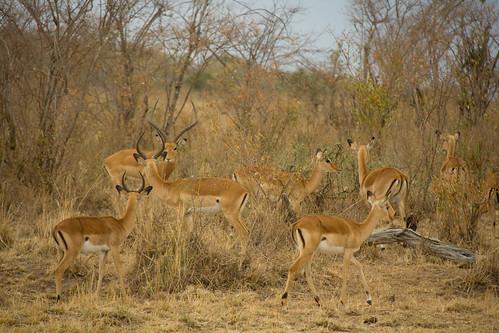 Impalas - Maasai Mara, Kenya