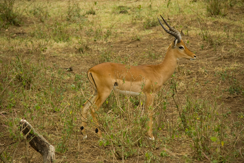 Male Impala - Lake Nakuru, Kenya