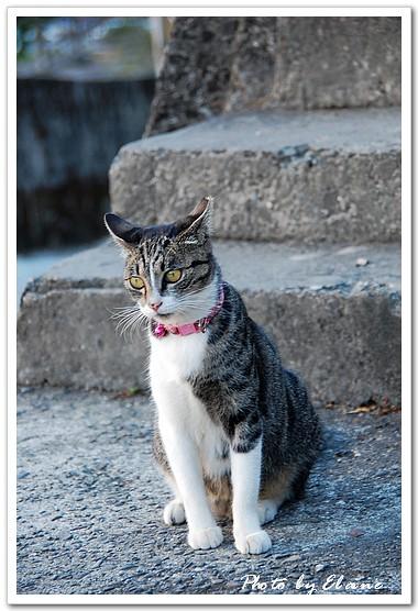 繫著粉紅鈴鐺的鈴鐺貓