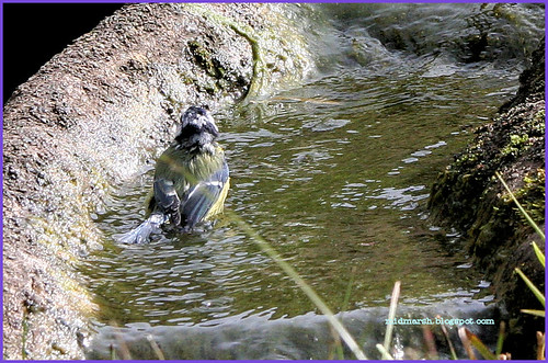 Blue Tit at the Pond Waterfall