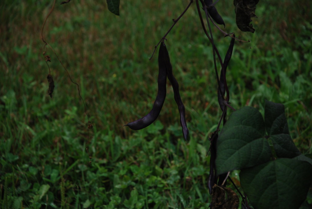 purple beans in Ladleah's garden