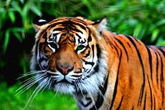 """Tiger Tiger (Tony Shertila) Tags: england animals cat zoo eyes europe cheshire britain tiger chester gmt chesterzoo pantheratigris mamals colorphotoaward platinumheartaward olétusfotos """"flickraward"""""""