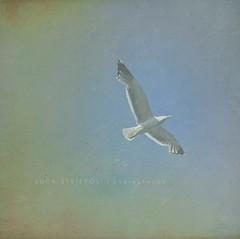 Explore (luc@s) Tags: sky texture nature fly gull natura ali volo cielo gabbiano uccello volatile theauthorsplaza