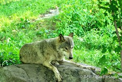 Loup gris (MacEnsteph) Tags: canada wolf qubec loup parcomega timberwolf montebello omegaparc loupgris