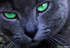 Green eye II (Sizzo-grafy) Tags: light black cute green eye love beautiful animal cat photoshop lens nose photography licht photo nice nikon sweet kitty grau iso 200 katze 1855mm grn nikkor kontrast f8 auge fell blick nase schwarz tier mund hairs haare cs4 sugetier weich d40 mywinners vanagram sizzografy instagram