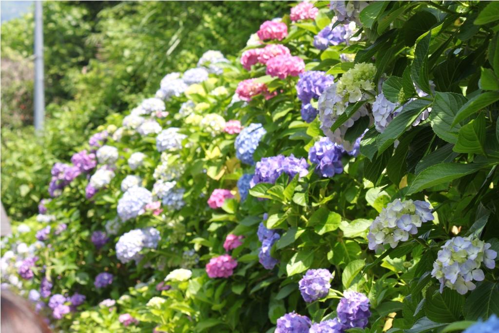 Hydrangeas - Exploring Hase, Kamakura (9)