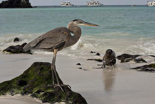 Galapagos heron