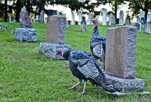 turkeys in a graveyard