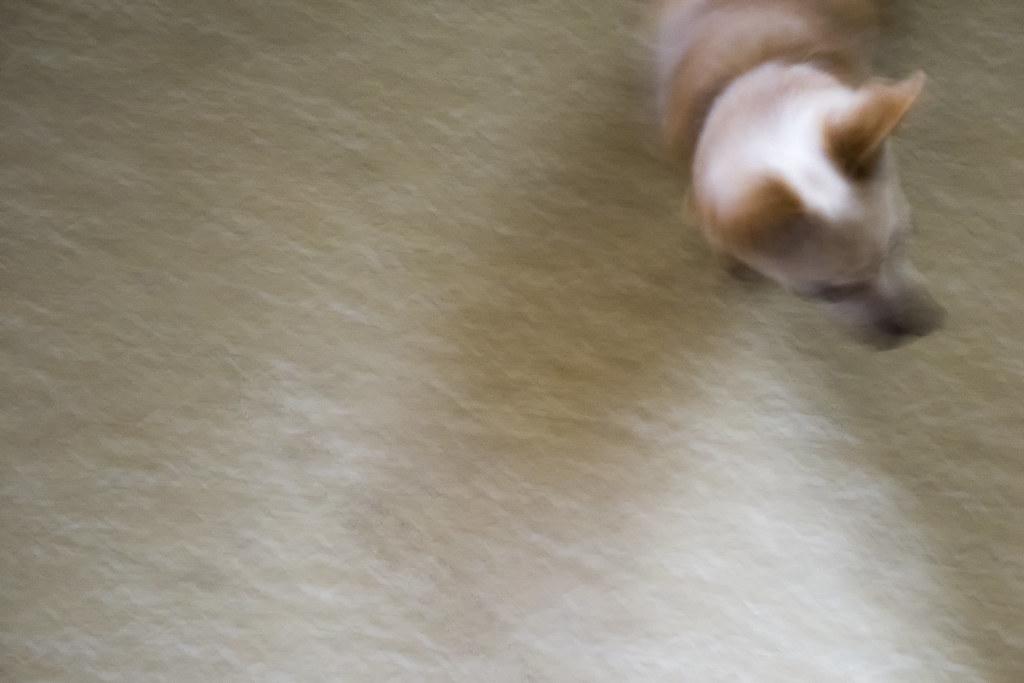 Chihuahua Impressions