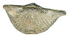Brachipoda   Mucrospirifer   thedfordensis   Middle Devonian   Arkona   Ontario   Canada   1.jpg (ShutterStone.com) Tags: ontario canada 1jpg arkona mucrospirifer middledevonian brachipoda thedfordensis