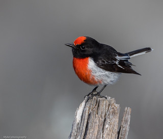Red-capped Robin Petroica goodenovii Petroicidae