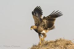Tawny Eagle. (Vikas.B.Chavan) Tags: nikond7100 afsnikkor300mmf4difed tawnyeagle aquilarapax