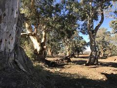 Arkaba Trees IMG_1280s (Bush Philosopher - Dave Clarke) Tags: australia flindersranges southaustralia tree gumtree arkabacreek riverredgum