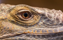 IMG_4110 (pathrover) Tags: reptile closeup macro photography serene nature wild iguana lizard weird strange cool monster portrait art light beautiful skin thisisexcellent crazy usa california explore flickr