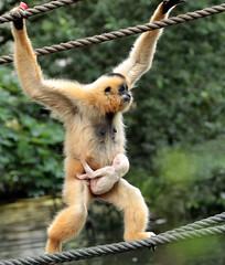 yellow cheeked gibbon artis BB2A4601 (j.a.kok) Tags: gibbon yellowcheekedgibbon goudwanggibbon artis animal aap ape mammal monkey mensaap zoogdier dier asia azie