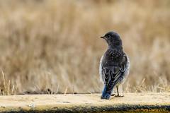 Young Western Bluebird (lhc005) Tags: bird westernbluebird juvenile