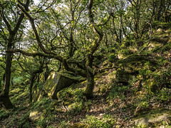 Green confusion (MikeONeil) Tags: woodland rock landscape tree peakdistrict leaves hill lichen wood