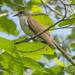 Black-billed Cuckoo in Mulberry Tree