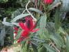 Pavonia multiflora - Malvaceae (Kerry D Woods) Tags: pavonia multiflora malvaceae