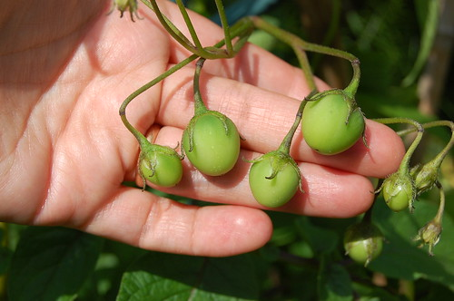 Potato berries