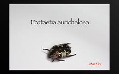 Protaetia aurichalcea (Mashku) Tags: insects beetles coleoptera scarabeidae cetoniidae cetoniini cetoniine