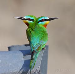 blue-cheeked bee-eater. (Zahoor-Salmi) Tags: pakistan macro nature birds animal canon photo natural action wildlife punjab salmi walpapers bhalwal zahoorsalmi thewonderfulworldofbirds