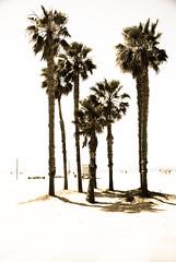 Santa Monica Palms (clockworkfrog) Tags: ocean vacation sun holiday palms losangeles sand muscle santamonicabeach santamonicpalmsbeach