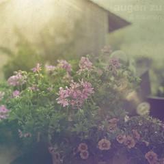 Augen zu & trumen (P!XELTREE) Tags: flowers light summer sun sunshine canon vintage lens 50mm mood bokeh dream retro flare goodmood eos5d