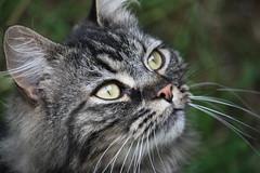 Sam (chrisgandy2001) Tags: cute cat kitten tabby longhair fluffy pussycat longhaired britishdomestic