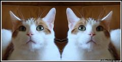 HELLO!:)                                                (:!OLLEH (JoanneRoukema/Off&On) Tags: pet animal cat feline heart whiskers ozzy orangeandwhite whiteandginger kissablekat bestofcats