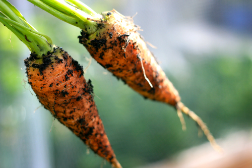 straight {direct sown} carrots